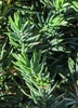 Juniperus conferta 'Pacific Blue'