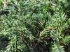 Juniperus conferta 'Pacific Blue'