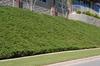 Juniperus conferta Form