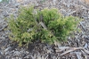 Juniperus horizontalis 'lime green'