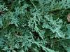 """'Wiltonii"""" Leaf closeup"""
