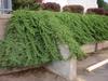 Juniperus procumbens Form