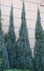 Juniperus scopulorum 'Blue Heaven'