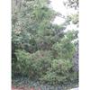 Juniperus virginiana var. silicicola