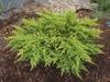 Juniperus x media