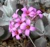 K. pumila flowers