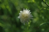 Aster pinnatifida 'Hortensis' flower