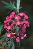 Kalmia angustifolia, K. carolina