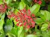 Kalmia latifolia 'Sarah'
