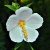 Kosteletzkya virginica