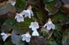 Shortia galacifolia