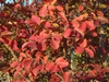 Lagerstroemia indica 'Catawba' Fall color Leaf