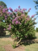 Lagerstroemia indica 'Catawba' Form