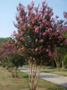 Lagerstroemia 'Sioux' Form