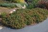 Lantana Bandito 'Compact Rose' Form