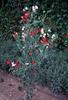 Lathyrus spp.