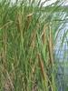 T. angustifolia