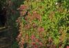Lespedeza bicolor