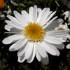 Leucanthemum x superbum flower close up