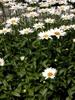 Leucanthemum x superbum stems, leaves, and flowers