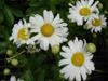 Leucanthemum x superbum flowers and buds