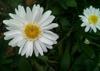Leucanthemum x superbum flowers