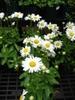 Leucanthemum x superbum leaves, buds, and flowers