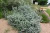 Leucophyllum langmanniae