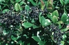 Ligustrum japonicum berries