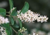 Ligustrum japonicum flower, close-up