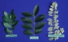 Comparison of Ligustrum leaves