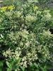 Ligustrum japonicum 'Silver Star'