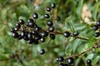 Ligustrum  vulgar Fruit