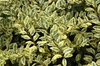 Ligustrum sinense 'Swift Creek' Leaf