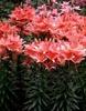 Lilium - Asiatic hybrids