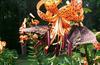Lilium tigrinum