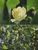 Liriodendron chinense flower