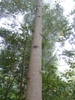 Liriodendron chinense trunk