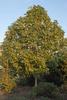 Liriodendron chinense Form
