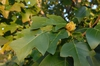 Liriodendron chinense Leaf and Fruit