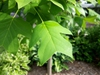 Liriodendron chinense leaf