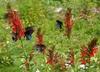 Butterflies visiting flowers