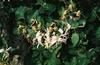 Lonicera japonica flower