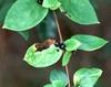 Lonicera japonica fruit