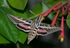 Lonicera sempervirens & White-lined sphinx
