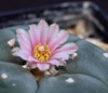 Lophophora Williamsii