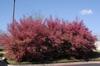 'Blush' Flower Form