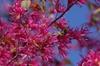 'Blush' Flower
