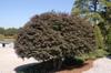 Loropetalum chinensis 'Zhuzhou Fuschia' Form