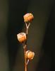 Seed Stem